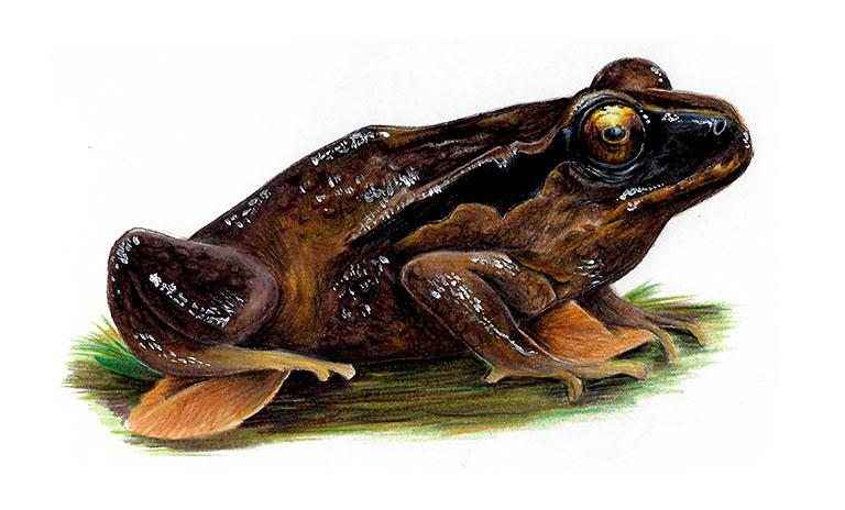Rosy ground frog