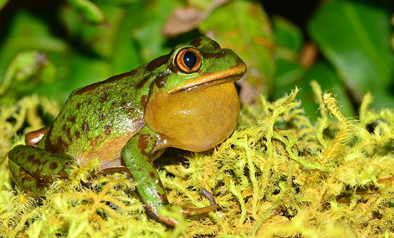 Emerald forest frog
