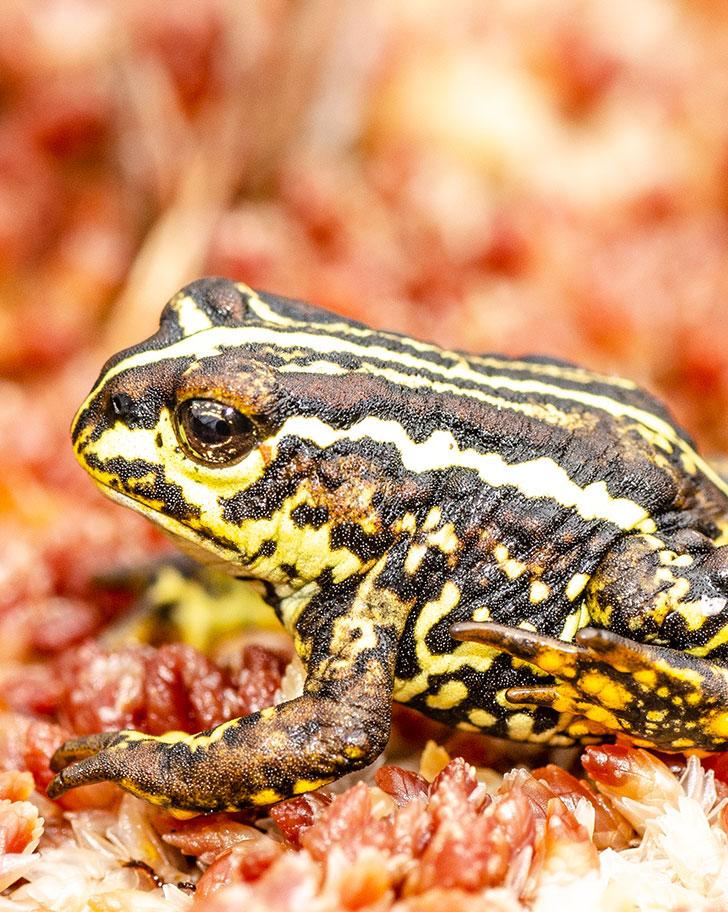 Patagonian toad