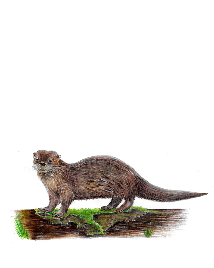 Southern river otter