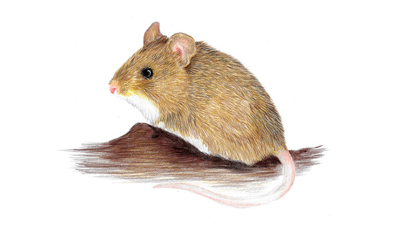 Olive grass mouse