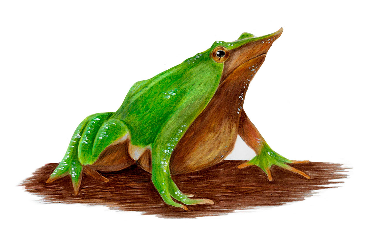 Darwin's frog and other native amphibians